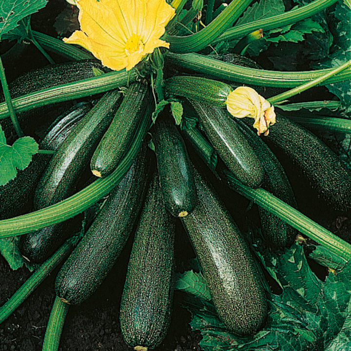 lotsofcourgettes