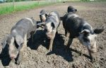 Reservoir_pigs